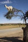Козы, пасущиеся на деревьях, Марокко (20 фото)