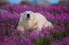 Белые медведи в цветущем поле, Северная Канада (15 фото)