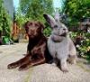 Кролики-великаны (описание пород, 24 фото)