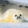 Детеныши гренландского тюленя (виды, 20 фото)