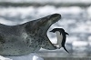Морской леопард, описание, фото, видео