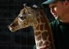 Самый маленький детеныш жирафа