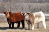 Порода плюшевых коров из Айовы (15 фото)