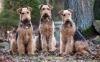 Порода собак эрдельтерьер (описание, 35 фото)