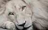 Белый лев - легенда африканских племен