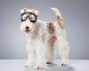 Порода собак фокстерьер (описание, 30 фото)