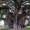 Туле - самое толстое дерево в мире (11 фото)