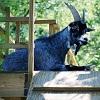Карликовые козы с натуральной синей шерстью (4 фото)