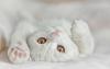 Британская короткошерстная кошка (30 фото)