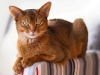 Абиссинская кошка (35 фото)