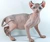 Эльф - редкая порода кошек
