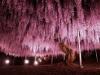 Самая крупная глициния в парке Асикага, Япония (20 фото)