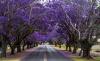 Жакаранда (фиалковое дерево). 20 фото