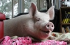 Эстер - домашняя свинья весом 300 килограмм (34 фото)