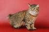 Порода кошек курильский бобтейл (30 фото)