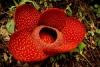 Цветок раффлезия (описание, 17 фото)