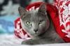 Русская голубая кошка (30 фото)
