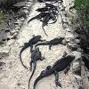 Морские игуаны на Галапагосских островах (описание, 16 фото)