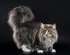Норвежская лесная кошка (описание, 34 фото)