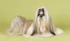 Порода собак ши-тцу (описание, 30 фото)