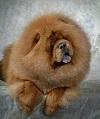 Порода собак чау-чау (описание, 27 фото)