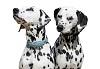 Порода собак далматинец, описание, фото