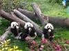 Детский сад для маленьких панд в Китае (30 фото)