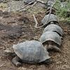 Слоновые черепахи на Галапагосских островах (описание, 16 фото)