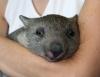 Удивительный зверек вомбат (описание, 12 фото)